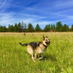 german-shepherd-running-sm