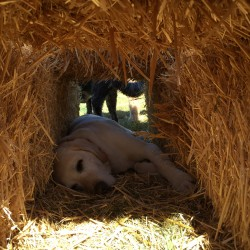 Sleeping in the hay